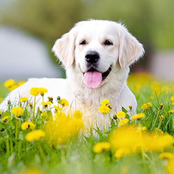 Bị chó đã tiêm phòng dại cắn có nguy hiểm?
