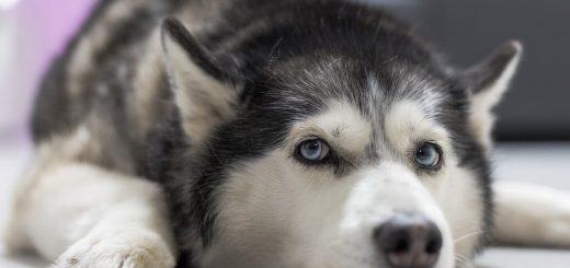 Chó cào chảy máu có nguy hiểm?