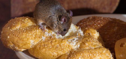 Thức ăn bị chuột cắn có sao không?