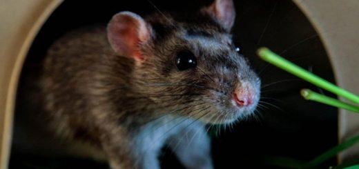 Bị chuột cào chảy máu có nguy hiểm?