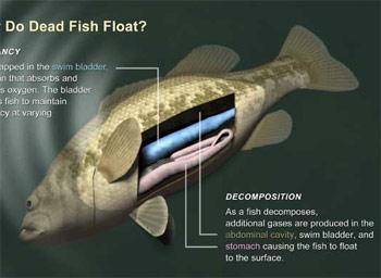 Tại sao cá chết lại nổi?