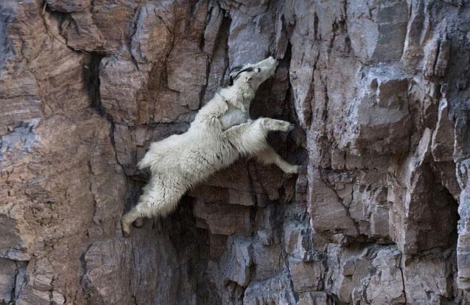 Tại sao dê leo núi được?