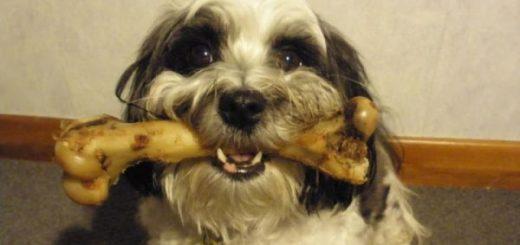 Tại sao chó thích gặm xương?