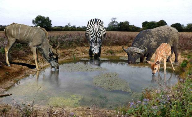 Tại sao động vật uống nước bẩn vẫn khỏe?