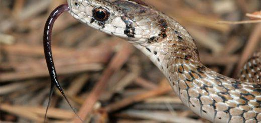 Tại sao lưỡi rắn lại chẻ?